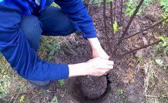Когда и как высаживать саженцы вишни